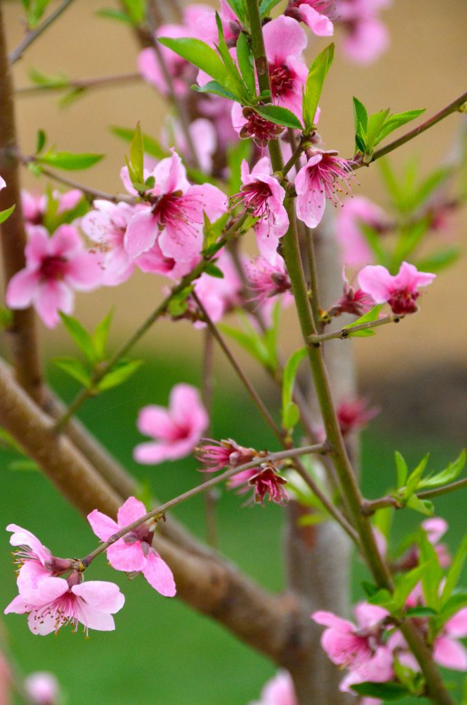 How-to grow a peach tree