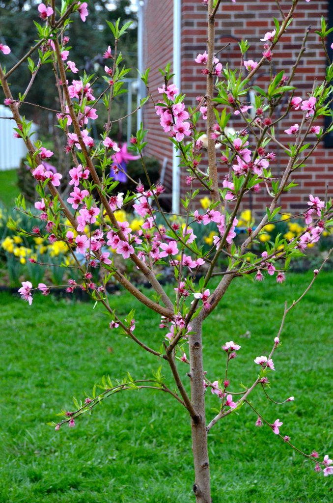 peach trees boast pink and white flowers in spring