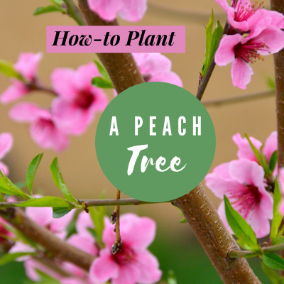 How-to plant a peach tree to make it thrive