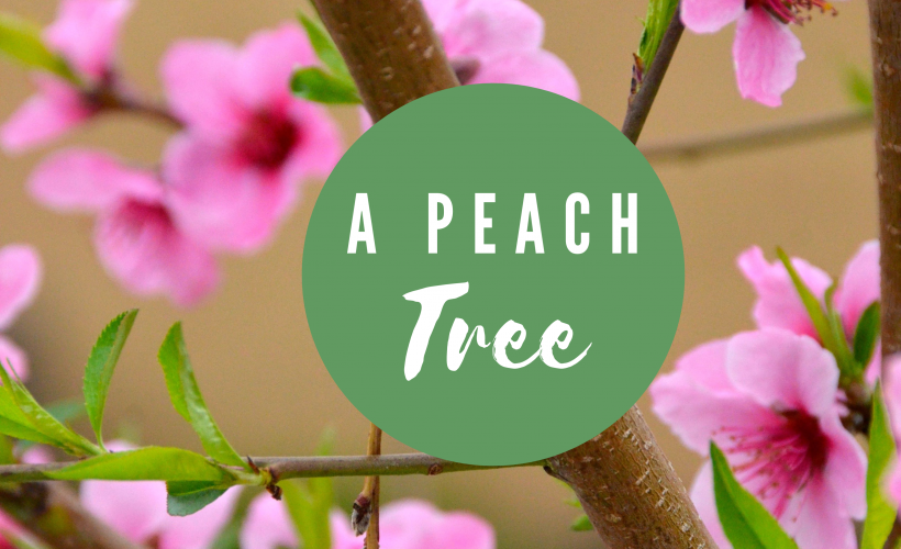 how-to plant peach tree