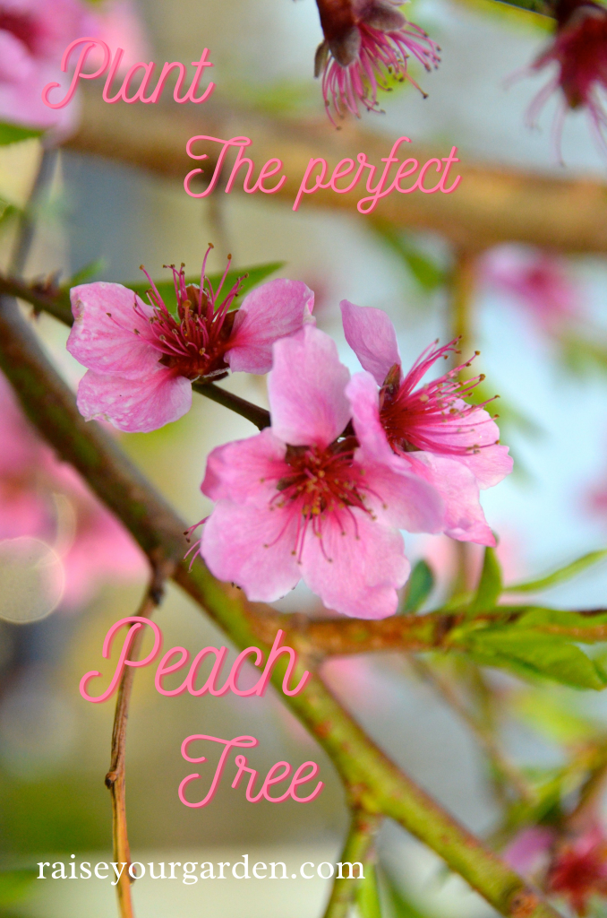 Plant the perfect peach tree