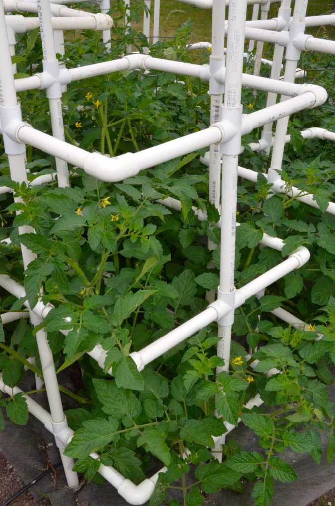huge tomato plants fertilized with worm castings
