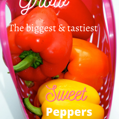 How-to grow the biggest and tastiest sweet peppers