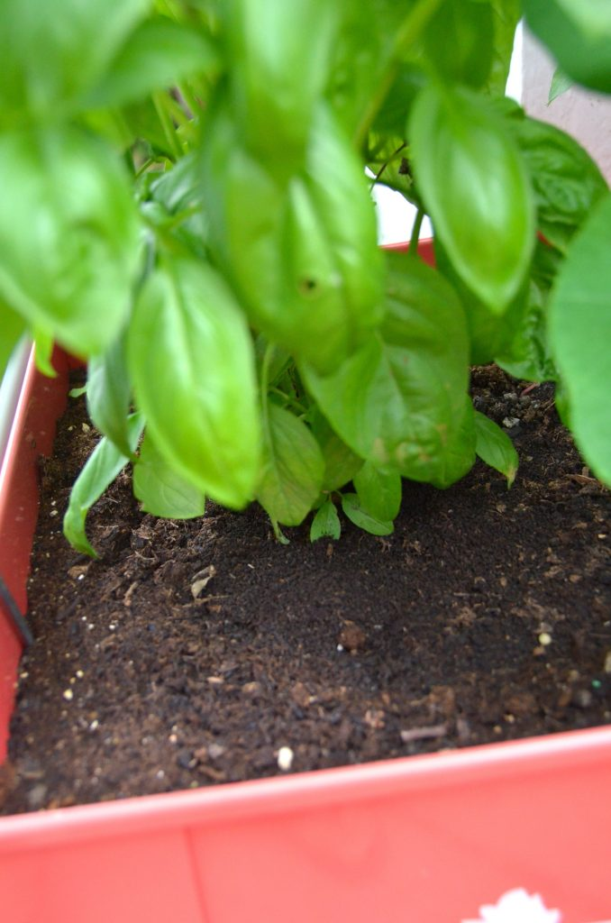 Worm poop used to fertilize my basil.