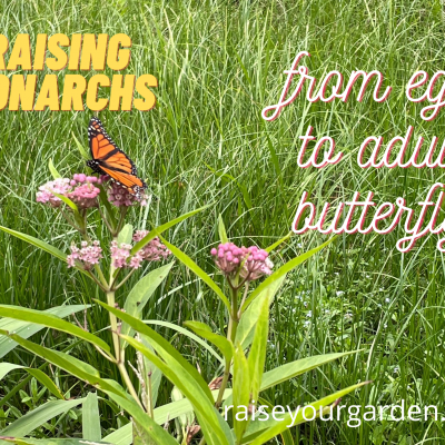 Raising monarchs from egg to butterfly – the complete life cycle, metamorphosis & stages of development