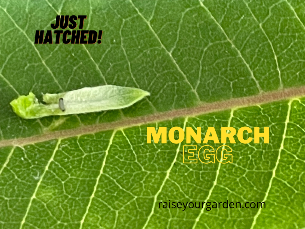 Monarch egg that just hatched