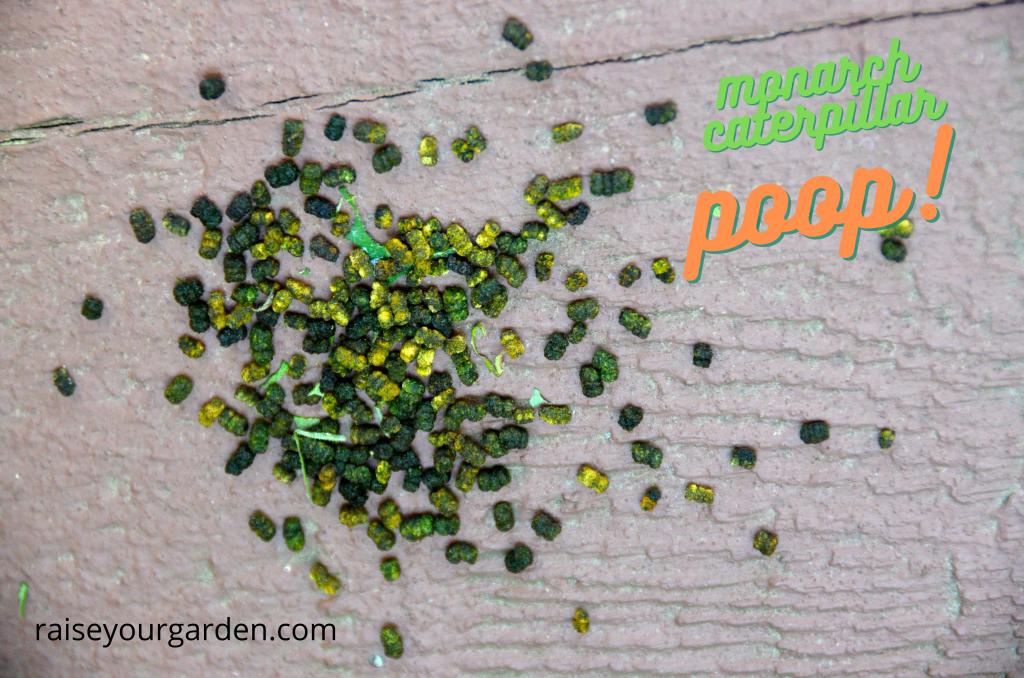 Monarch caterpillar poop