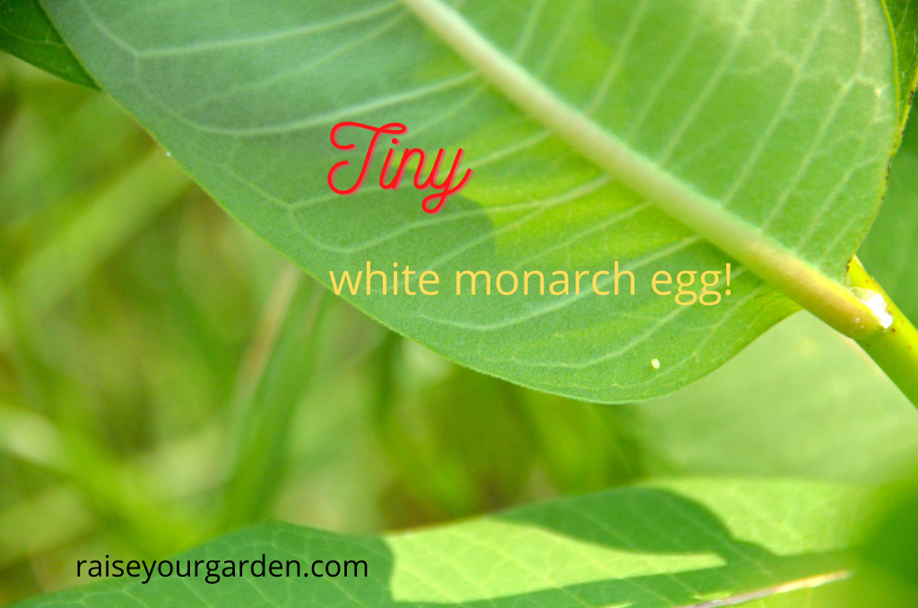 Tiny monarch eggs are hard to find