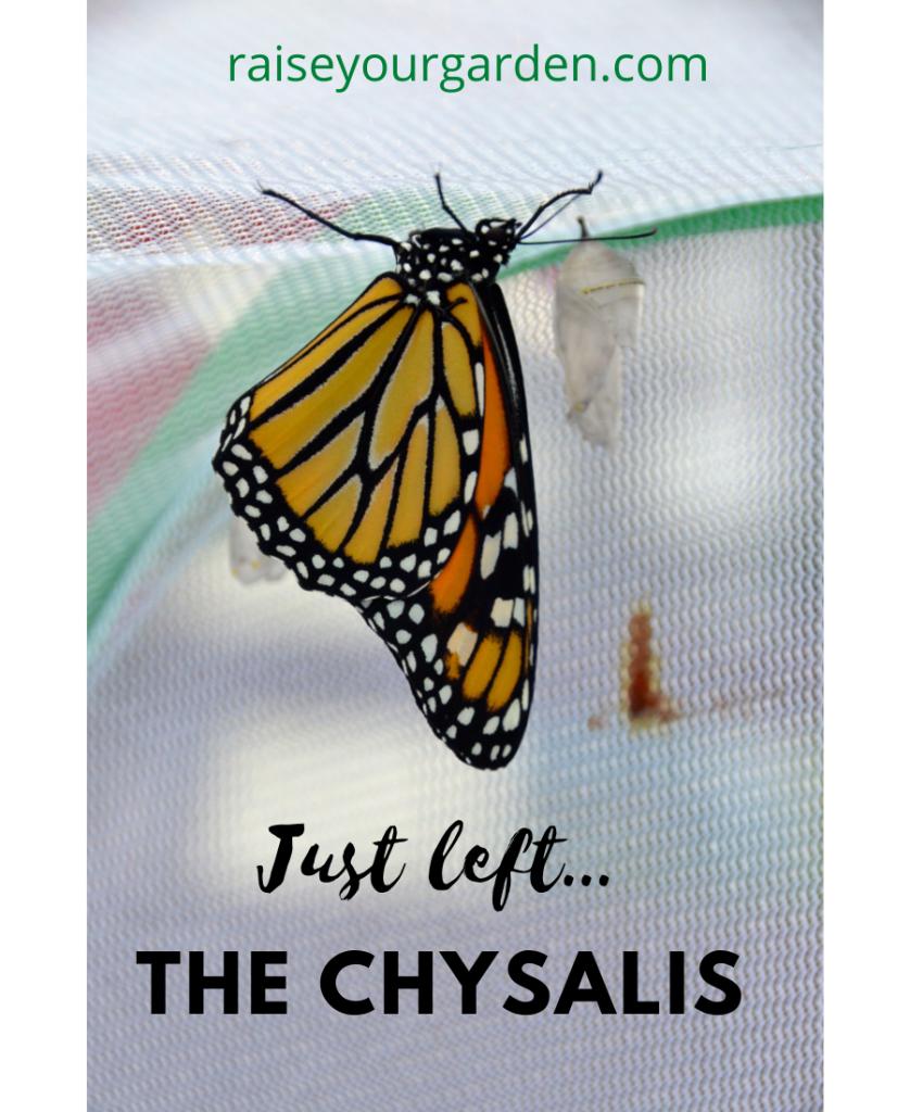 Monarch butterfly leaving chrysalis