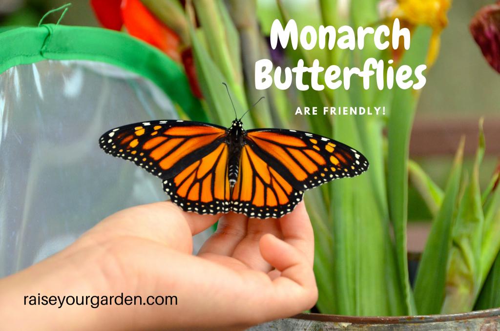 Monarch Butterflies are friendly
