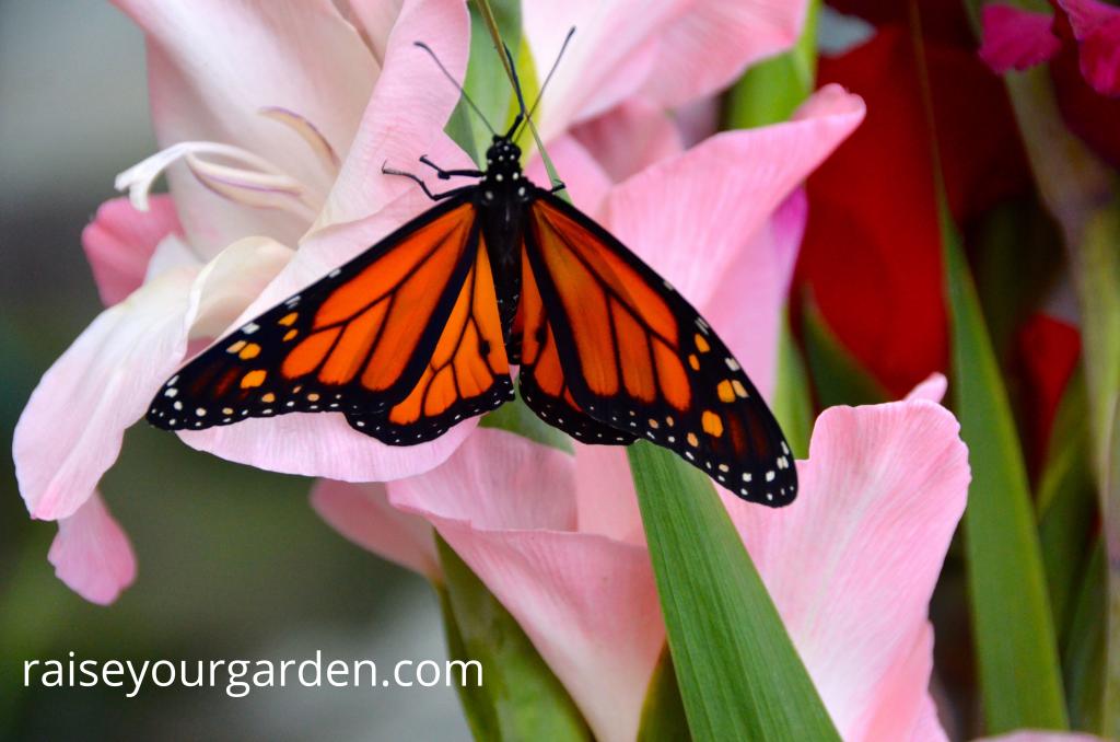 Monarch on pink gladiola