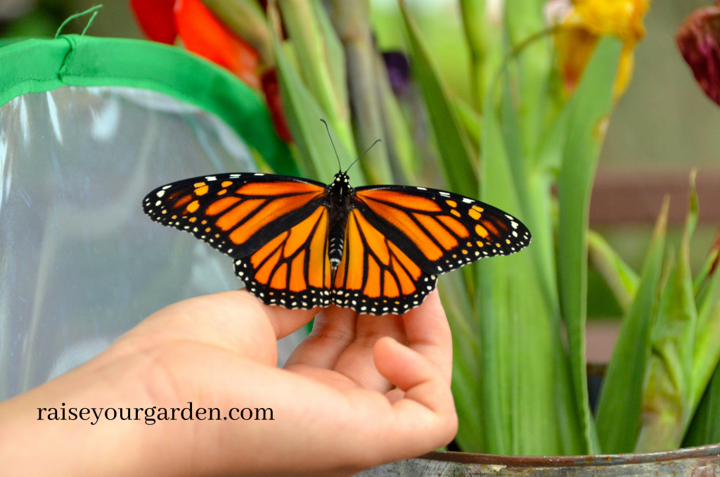 raising Monarchs from egg to adult butterfly
